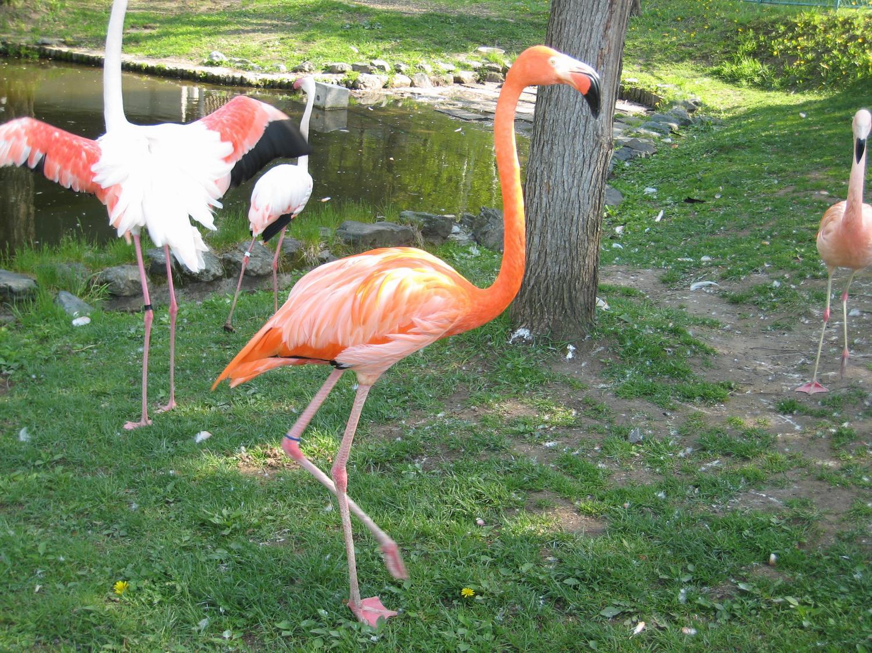 ベニイロフラミンゴ| 旭川市 旭山動物園